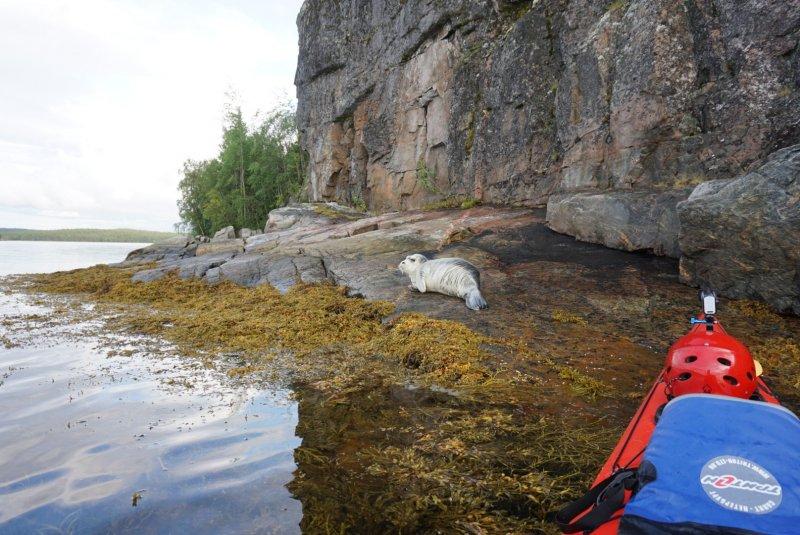 В чупинской бухте встретил морского зайца. Он отдыхал на скале. Каяк идет очень тихо, я постарался грести как перышко, и последние несколько метров подошел на инерции вплотную к этому зверю. Он хоть и увидел меня давно не стал убегать в воду так как я шел очень плавно. В итоге я оказался прямо у берега напротив, и долго его наблюдал.