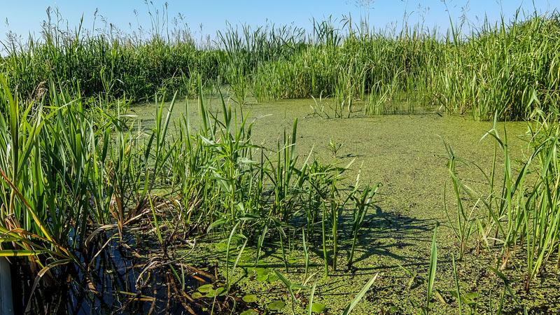 Чуть в стороне от основного русла зелёный ковёр из мелкой ряски.