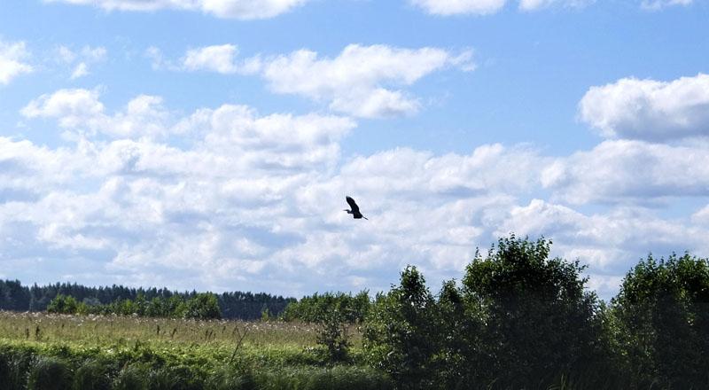 Цапля – это все-таки не голубь – существо осторожное. Предпочло ретироваться подальше от нас. Как выяснилось, доверие на природе мы вызываем далеко не у всех…