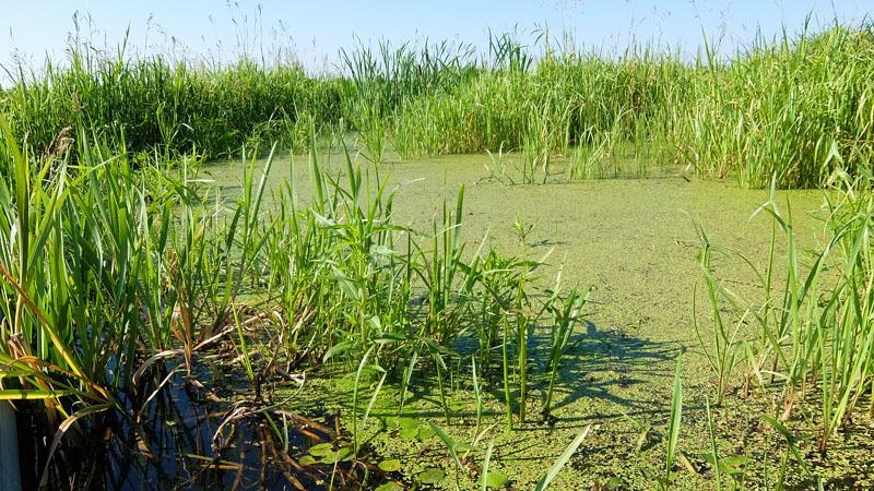 Попадаются сплошь затянутые ряской водные пространства. Среди цветковых растений ряска наименее морфологически дифференцирована. У неё нет специализированного стебля, листьев. Есть просто зеленая пластина с корешками и боковыми побегами.