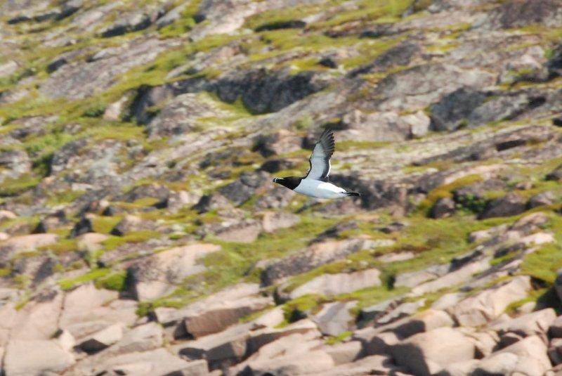 Вы когда-нибудь видели летающих пингвинов? А вот я видел. А вообще это гагарка.