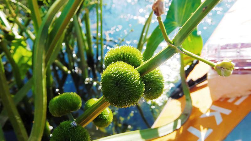 После того, как стрелолист отцветает, появляются вот такие плоды, похожие на то, что обычно барсук вешает на сук, когда его одолевает бессонница…