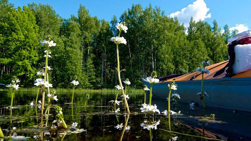 Вот здесь более информативный ракурс, на котором лучше видно многоэтажные цветы, отличные от простых цветков лютика. Это – турча. Тоже, между прочим, как и горец земноводный, является амфибийным растением. Т.е. при пересыхании водоёма может запросто пережить переход из болотной фазы в сухопутную. Растет только в чистых водоемах. Не выдерживает загрязнения водоемов органикой. Увидел цветущую турчу – опускай в водоём хобот и смело пей оттуда воду (Шутка... Всё равно, сначала прокипяти воду, а затем уже, через некоторое время, опускай в котелок хобот (это если совсем без шуток)).