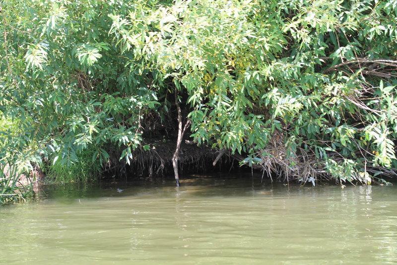 Затем я стал держаться ближе левого берега, он был весь усеян как я называю, таинственными местами. А именно нависшими над водой кустами, а под ними всякие норки и пещерки. Заглядывая под них всегда становиться жутковато. Я плыл и заглядывал под них, в надежде увидеть какого-нибудь зверька.