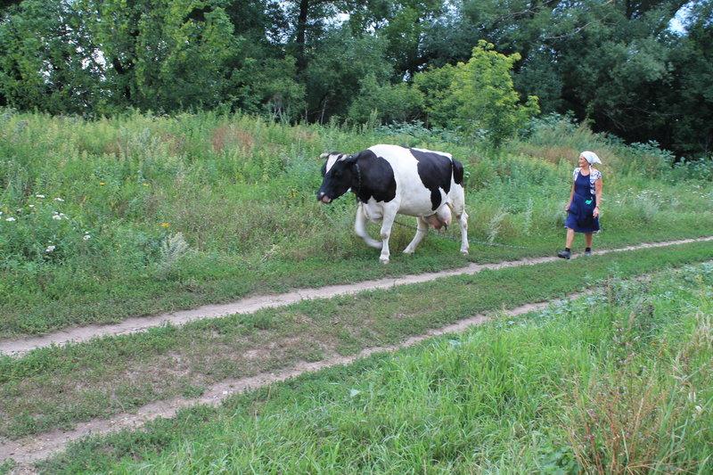 Познакомились с местной женщиной Раисой Ивановной. Я помог ей проводить домой ее коров, договорились о покупке молока с вечерней дойки. Она сказала, чтоб я приходил забирал свежее молоко к 20:00 вечера.