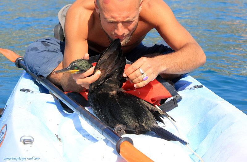 Спасение баклана. Он сильно запутался в рыболовных снастях и уже погибал..