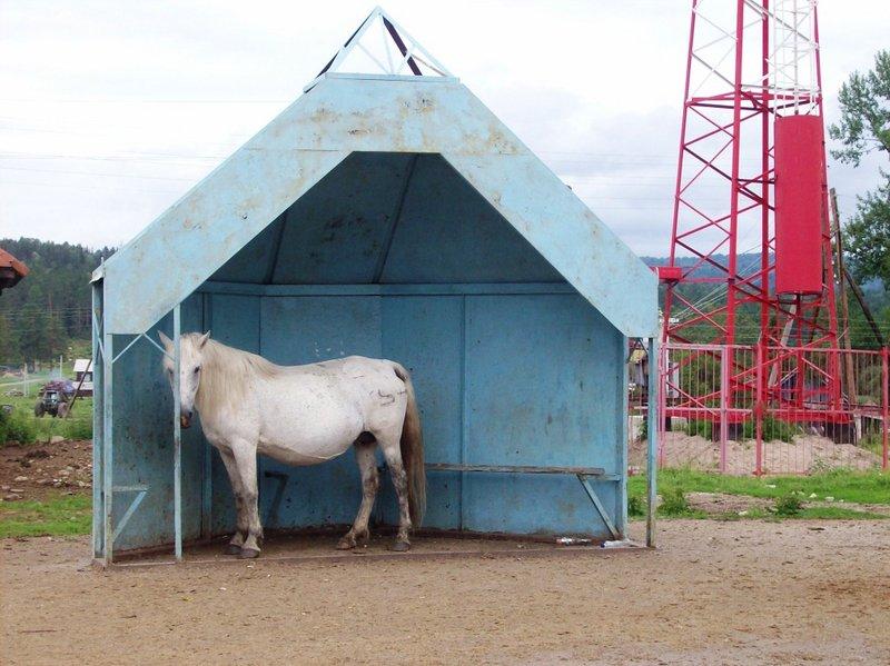 Это в Индии коровы священные животные, а в Кебезени кони - это люди, и них и дом в самом центре поселка, а главное на работу они на автобусе ездиют. Вот стоит ждет автобуса, на такси дороговато.