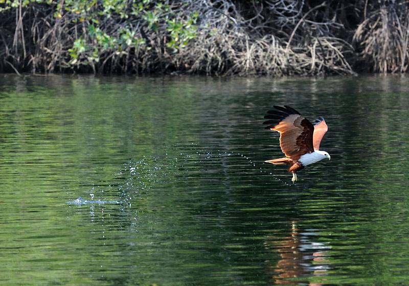 У нас этим обычно занимаются бакланы. А тут благородная птица сама добывает себе морепродукты.