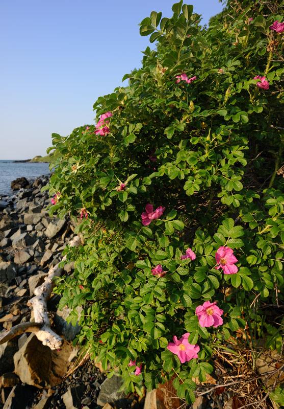 Скоро эти кусты покроются плодами шиповника размером с мелкое яблоко. Как ни удивительно, но таких величин сия ягода достигает только на островах.
