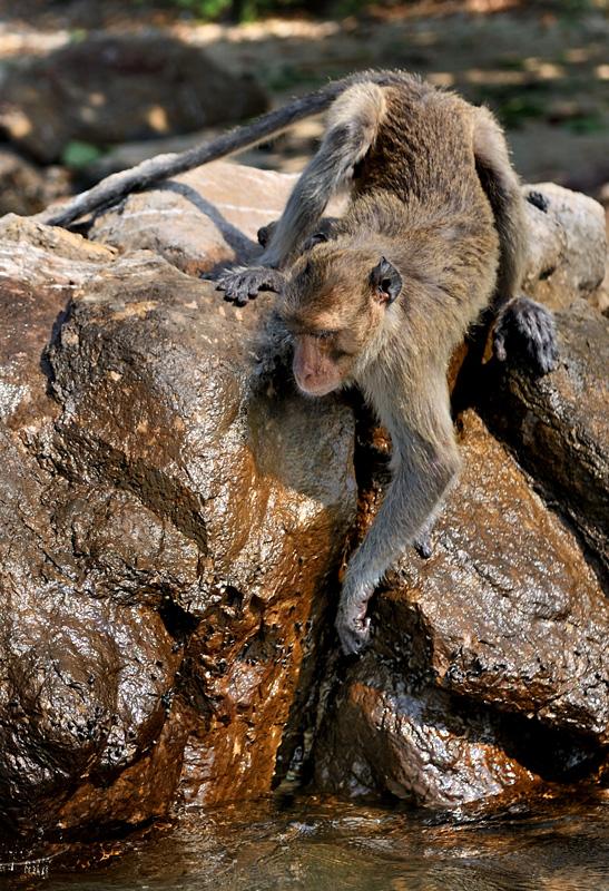 Близкие к материковому побережью мелкие острова оккупированы стадами обезьян. Хвостатые хлопцы явно испытывают недостаток в бананах, посему дружно перешли на белковую пищу — жрут улиток, пасущихся на мокрых камнях, как прыщи на тинейджерах.