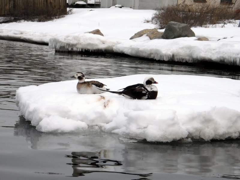 Абсолютно не боящиеся каяков утки.