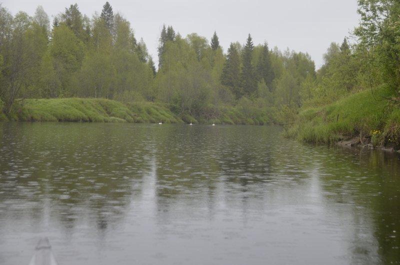 В качестве награды мокрому путешественнику за первым от лагеря поворотом на реке встретились 3 лебедя. Почему их трое, и почему в конце мая они не улетели на север – для меня загадка.