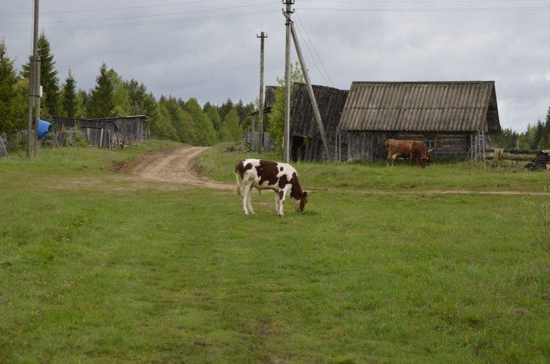 Местная живность. Удивляюсь, насколько более обитаемой выглядит деревня благодаря корове.