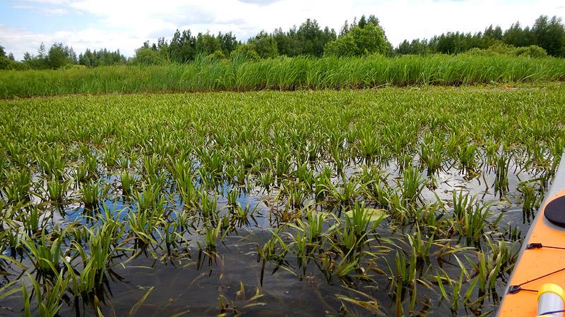 Какая-то низкорослая растительность - не камыш. Может тайные посадки нелегального риса?Полагаю, долго здесь находится небезопасно...
