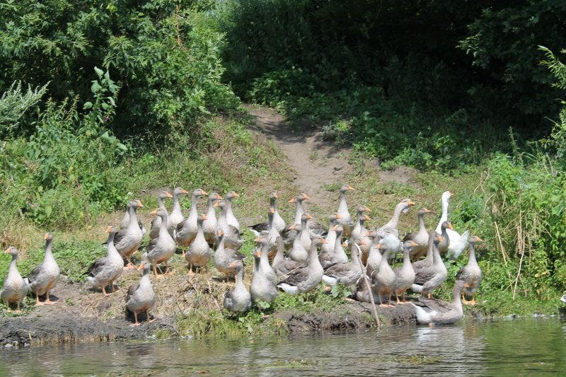 Ну вот мы готовы! Пора двигаться в путь. Первыми кто нас встретил на реке это стая домашних гусей. Здравствуйте!